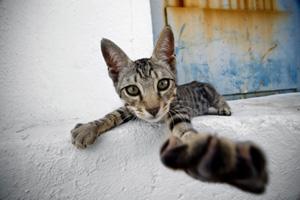 Kedilerin Psikolojisi