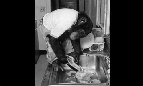 Nim Chimpsky - Dil Öğrenebilen Şempanze