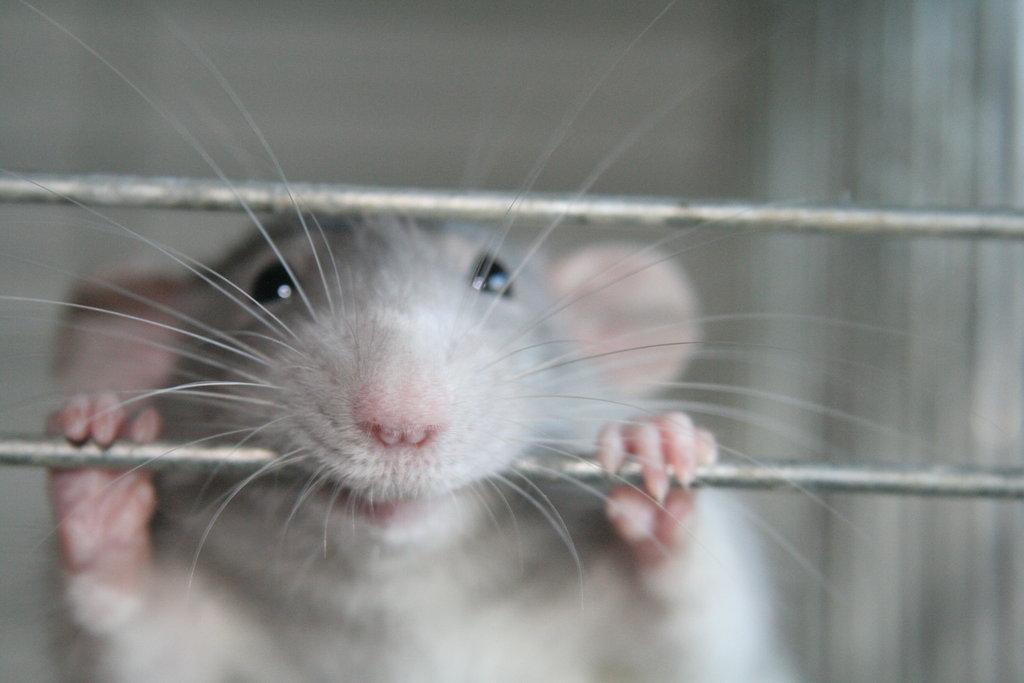 Sıçanlar da güler.